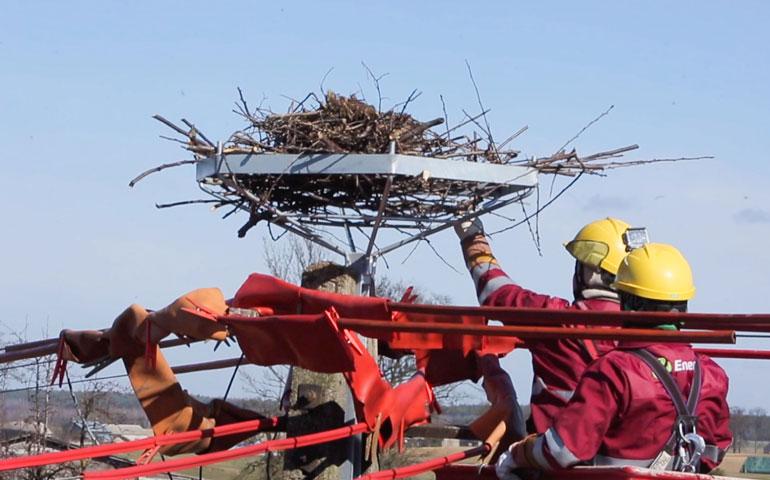 gniazdo bocianów Energa