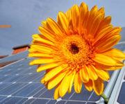 kwiat na module fotowoltaicznym