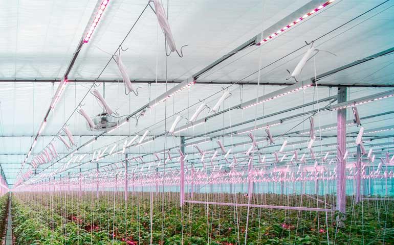 Światło, które dostarcza pomidorom najwięcej energii